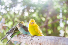 The Yellow Lovebird Stock Image