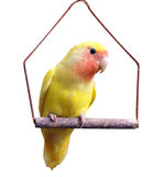 Yellow Lovebird on Swing. Isolated with clipping path Stock Images