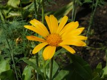 Yellow Lovely Daisy Marguerite. With leaves stock photo