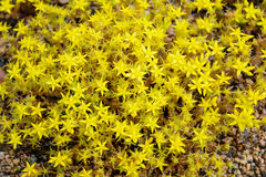Yellow low-growing wildflowers of saxifrage. Stock Photo