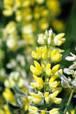 Yellow Lupin Flowers Stock Images