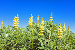 Yellow lupine in portuguese landscape Stock Photos