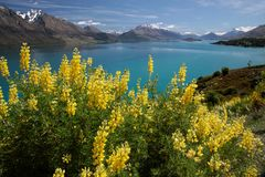 Yellow lupines at Lake Wakatipu Stock Image