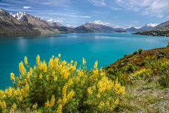 Yellow lupines at Lake Wakatipu Royalty Free Stock Photos