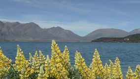 Yellow lupins in the foreground of the view across Lake Tekapo, New Zealand Stock Photography