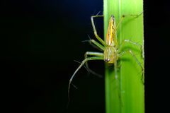 A yellow lynx spider. Lynx Spider on grass background Stock Photo