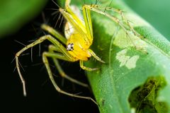 Yellow Lynx Spider on green leaf stock photography