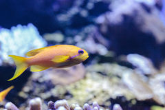 Yellow Lyretail Anthias fish known as Pseudanthias squamipinnis Royalty Free Stock Photos
