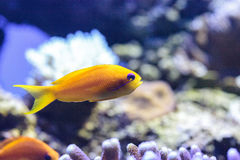 Yellow Lyretail Anthias fish known as Pseudanthias squamipinnis Royalty Free Stock Images