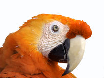 Yellow macaw. On isolated white background Stock Images