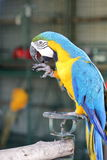 Yellow macaw with blue wing licking leg Stock Photo