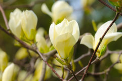 Yellow Magnolia Royalty Free Stock Photography