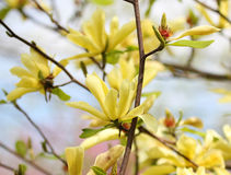 Yellow magnolia blossom in springtime Royalty Free Stock Images