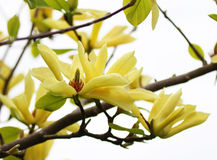 Yellow magnolia blossom in springtime stock photos