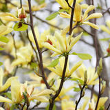 Yellow magnolia blossom in springtime Royalty Free Stock Image