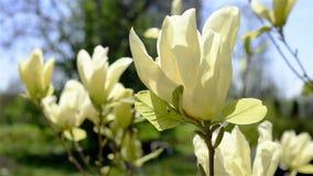Yellow magnolia blossoms stock video
