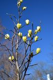 Yellow magnolia buds on a blue sky background Stock Images