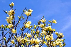 Yellow magnolia flower Stock Photography