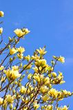 Yellow magnolia flower Royalty Free Stock Photography