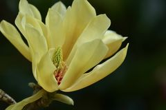 Yellow Magnolia Stellata, or Star Magnolia; close-up photo of a flower royalty free stock images