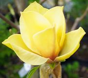 A yellow Magnolia Tree blossom. An up close view of a yellow Magnolia Tree blossom royalty free stock image