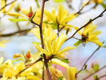 Yellow Magnolia Tree Blossoms Stock Images