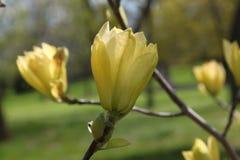 Yellow Magnolia tree flowers. Unusual yellow magnolia tree flowers blooming in spring Stock Images