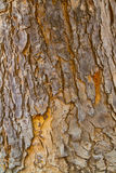 The yellow mahogany bark texture. In a temple, Ayutthaya, Thailand Royalty Free Stock Photography