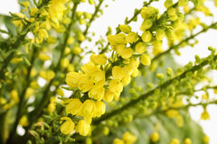 Yellow mahonia flowers Stock Photography