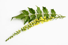 Yellow mahonia flowers Stock Photos