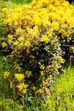 Yellow Mahonia Shrub Stock Photos