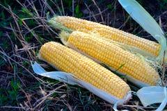 Yellow maize corncob Royalty Free Stock Photo
