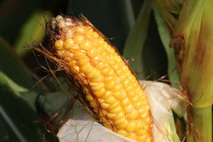 Yellow maize before the harvest Stock Images