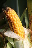 Yellow maize before the harvest Royalty Free Stock Images