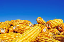 Yellow Maize Under Blure Sky Royalty Free Stock Image
