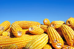 Yellow Maize Under Blure Sky Stock Photo