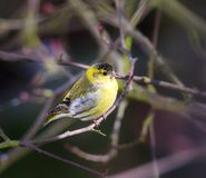 Yellow male siskin bird sitting on a twig. Closeup of a yellow male siskin bird sitting on a twig Royalty Free Stock Photos