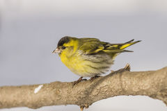 Yellow male Siskin sitting on a log Stock Images
