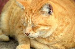 Yellow male tabby cat. Yellow orange male tabby cat napping lazily Royalty Free Stock Images
