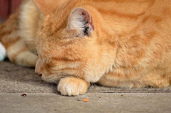 Yellow male tabby cat. Yellow orange male tabby cat napping lazily Stock Photos