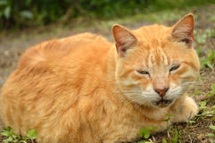 Yellow male tabby cat. Yellow orange male tabby cat napping lazily Royalty Free Stock Photography