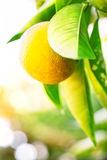 Yellow mandarin on a branch. Shot with selective focus Stock Photo