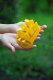 Yellow mango on hands. Yellow mango on green background Stock Photos