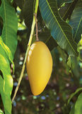 Yellow mango Stock Photos