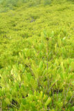 Yellow Mangrove Stock Photography
