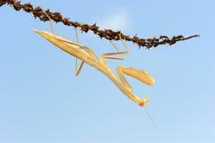 Yellow mantis Stock Image
