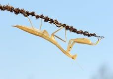 Yellow mantis Royalty Free Stock Photography