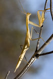 Yellow mantis religiosa Stock Images