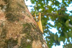 Yellow mantis on the tree stock photo