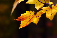 Yellow Maple Royalty Free Stock Images